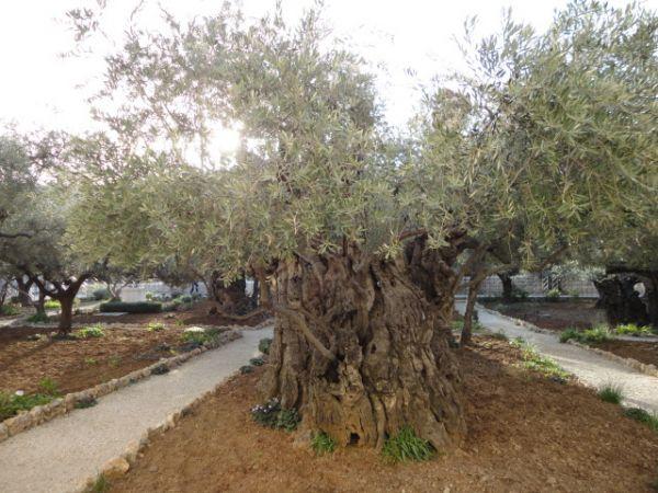 оливковое дерево над 2000 лет