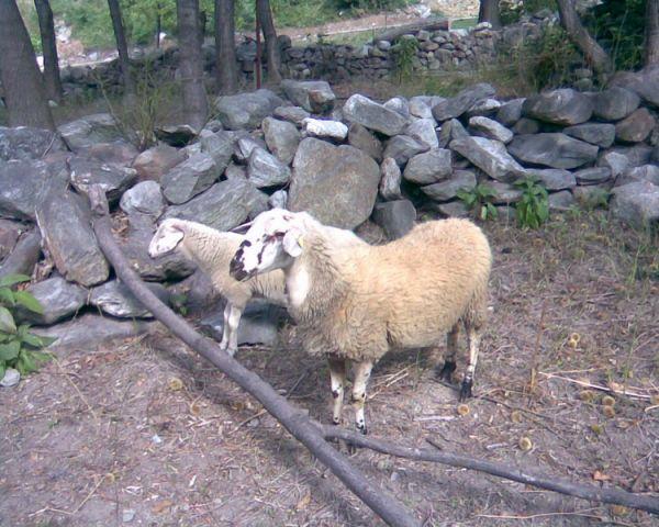 Овцы.