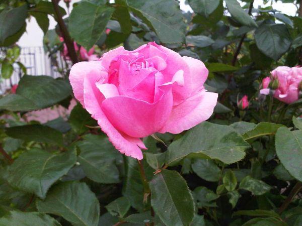 и от меня одна роза