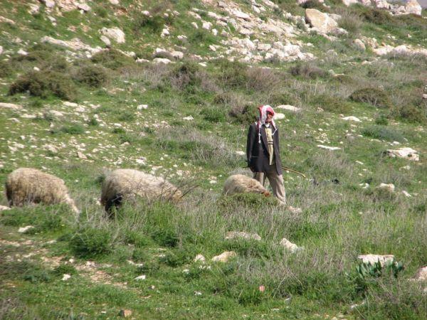 IMG_0845.JPG И как тысячи лет назад пасут овец в Иерусалиме...