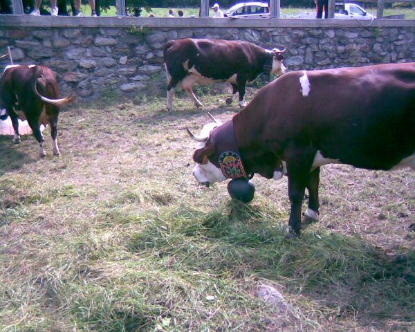 Экспозиция животных. Коровы в ошейниках.