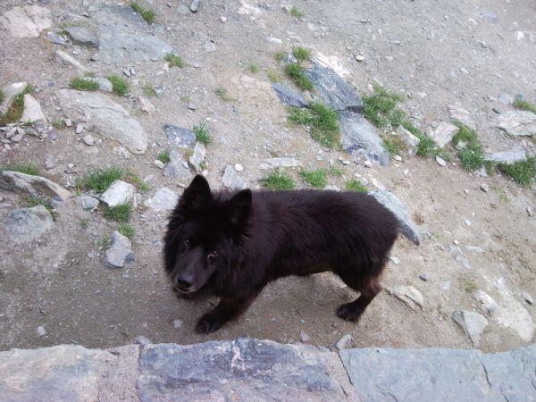 Альпийский горный пес