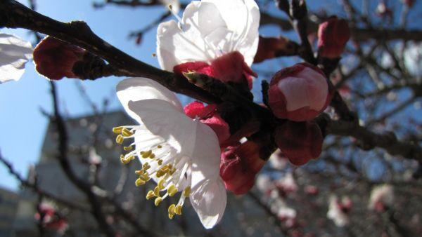 Абрикос в цвету