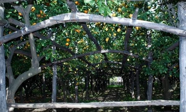 Лимоново-апельсиновый сад:)