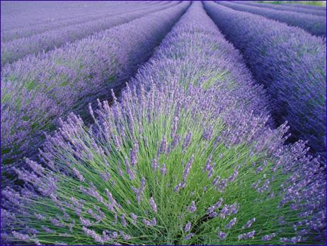 lavender-row.jpg